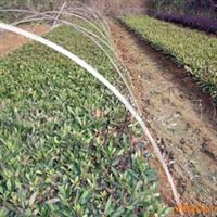供应绿化苗木、灌木杜鹃苗