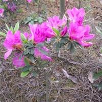 供应绿化苗木,杜鹃