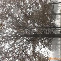 供应银杏树苗,绿化树苗,国树银杏