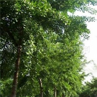国标2005版银杏叶,中药原料银杏叶,