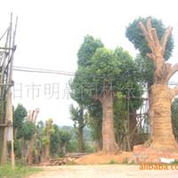 浏阳市明晨园林绿化苗圃供应香樟