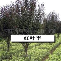 浏阳市明晨园林绿化苗圃供应红叶李