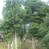 浏阳市明晨园林绿化苗圃供应杨梅树