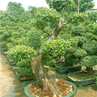 浏阳柏加明晨园林供应绿化苗木、榆树
