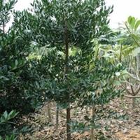 浏阳市明晨园林绿化苗圃供应竹柏
