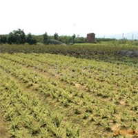 浏阳市明晨园林绿化苗圃供应火棘