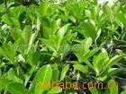 供应:榆树、黄杨、地柏、红花继木(图)