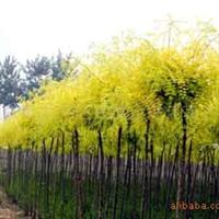 供应:国槐、垂槐、垂柳(图)