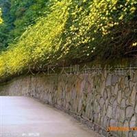 供应:蔷薇、连翘、迎春(图)