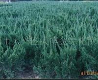 供应:香樟、雪松、扑树,蜀桧(图)
