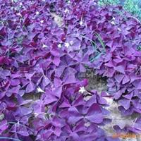 供��紫�~酢�{草