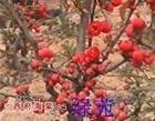 销售大量绿化苗木红叶小檗泰安市绿鑫苗木花卉合作社