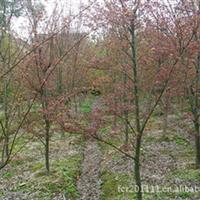 出售2公分日本红枫、日本红枫苗、 欢迎选购