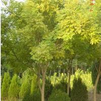 供应道绿化苗木黄金槐