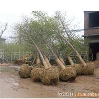 常年出售大小规格银杏树苗、量大可送货上门