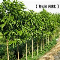 万亩生产基地专业供应  重庆市市树  黄葛树苗  黄桷树苗