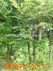供应榉树,绿化苗木(图)