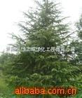 供应雪松,绿化苗木(图)
