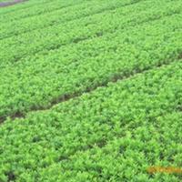 大量供应优质灌木杜鹃。欢迎新老顾客前来洽谈,价格实惠。