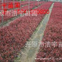 红叶山杏扦插苗 红叶李苗  密枝红叶李地插苗  密枝红叶李
