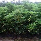 深圳惠州绿化工程灌木,鸭脚木袋苗,鸭脚木盆苗,鸭脚木球