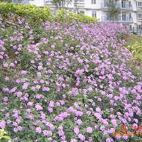 紫花马缨丹袋苗,深圳惠州绿化工程灌木,绿化袋苗