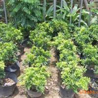 【基地自�a】九里香袋苗,千里香,深圳惠州�G化工程灌木