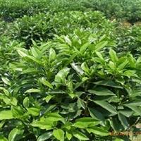 非洲茉莉苗,非洲茉莉苗球,深圳惠州绿化工程灌木,绿化袋苗