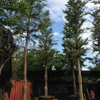 【基地自产】小叶榄仁、紫荆花(高1-6米),各种规格,长期批发