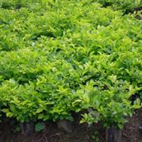 绿化工程灌木,绿化袋苗,黄金叶,黄金榕,红背桂