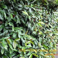 红背桂,红背桂袋苗,深圳绿化工程灌木,绿化袋苗