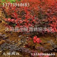 大量供应红叶小檗,红叶小檗基地,红叶小檗价格,红叶小檗苗