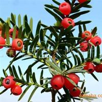 北京南苑花木供应大量红豆杉