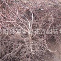 供应葡萄树苗(图)