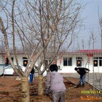 供应银杏树,工程绿化苗,白果树 各种规格(图)