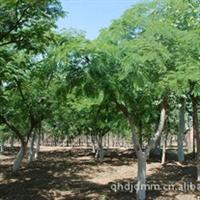 大量供应合欢各种规格 绿化工程苗木