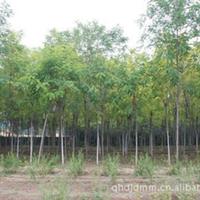 大量供应香花槐 富贵树紫花槐 绿化工程苗
