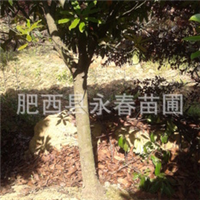 供应8-15公分高杆石楠 独杆石楠 石楠树