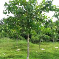 我公司现有一批胸径为6-20公分的菩提树,欢迎订购!