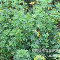 供应厂家直销批发各种规格的黄花槐苗木