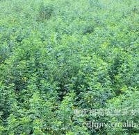 供应批发各种绿化工程树种 黄花槐米径2公分20元每株