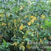 重庆供应批发 美化行道树 色泽鲜艳 黄花槐苗木0.6元每株
