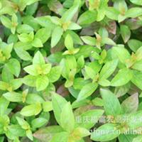 供应低价大量出售紫薇小苗 紫薇种苗