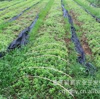 供应批发 基地直销 优质 紫薇小苗 苗木
