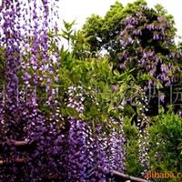 供��紫藤