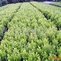 供应;黄杨,红叶小檗,紫叶李等花卉盆景(图)