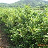 大量供应园林绿化苗木,蚊母,中华蚊母