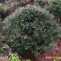 专业构骨基地供应25-120cm枸骨盆景,构骨球,构骨树