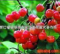 供应早熟樱桃苗-樱桃树苗-大果红樱桃、红灯等果树苗