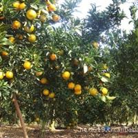 供应优质早熟宫川柑橘苗 柑桔树苗 柑桔苗木 蜜桔树苗
